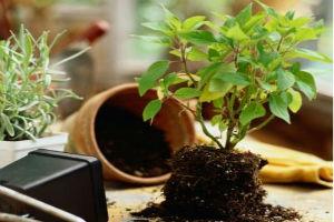 Правила пересадки комнатных растений