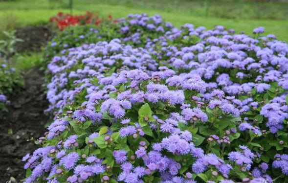 Агератум Хоустона цветок