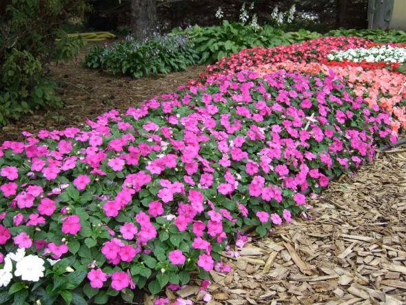 Бальзамин садовый растение