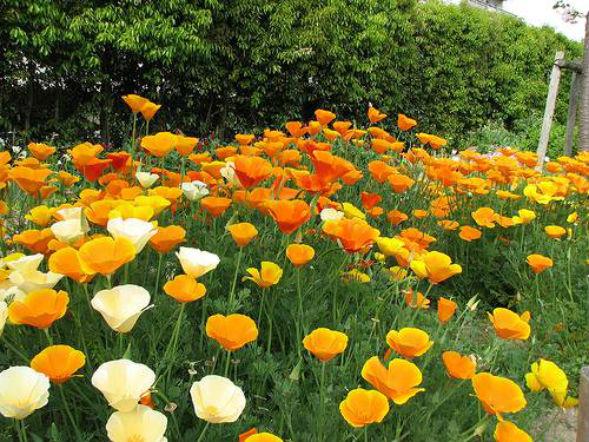 Эшшольция Калифорнийская растение