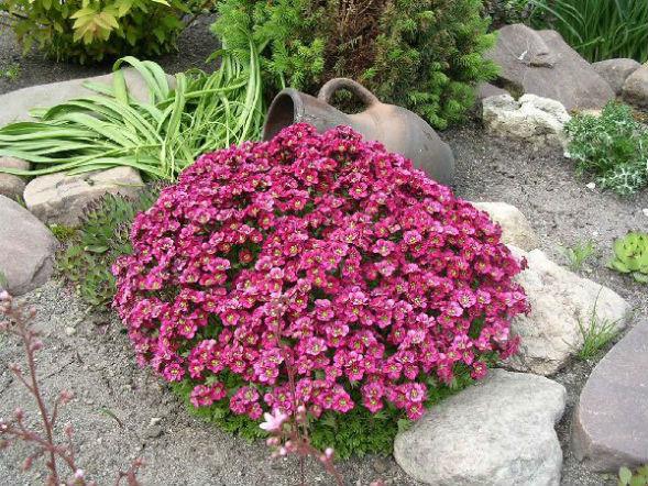 Гвоздика китайская Геддивига растение