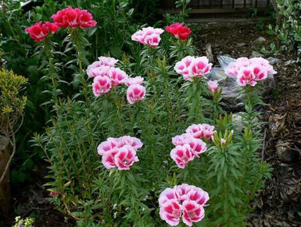 Годеция крупноцветковая растение