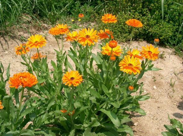 Календула лекарственная растение