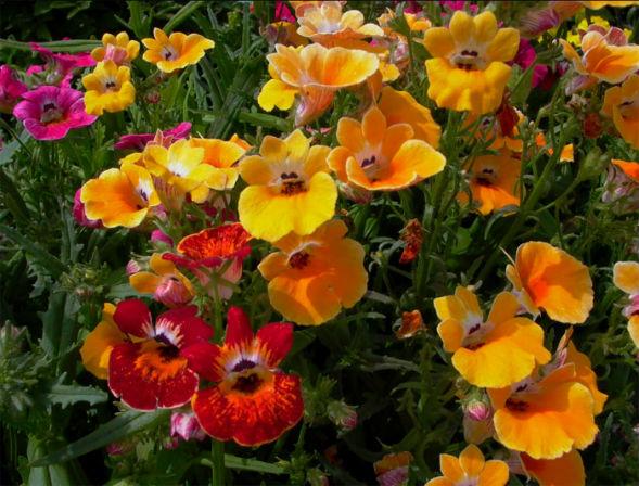 немезия зобовидная растение