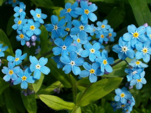 незабудка альпийская растение