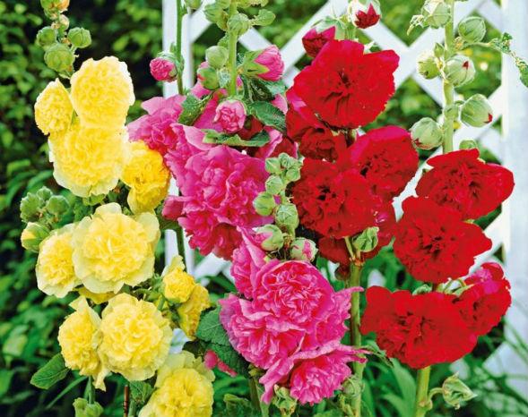 шток роза растение