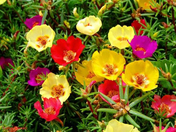 портулак крупноцветковый растение