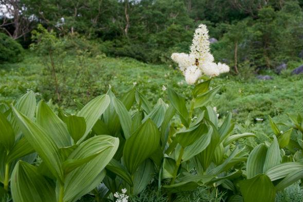 Многолетнее растение Чемерица