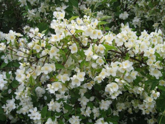 Многолетнее растение Чубушник