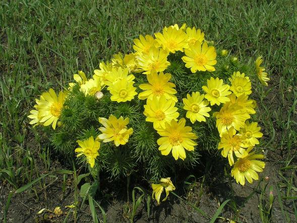 Многолетнее растение адонис