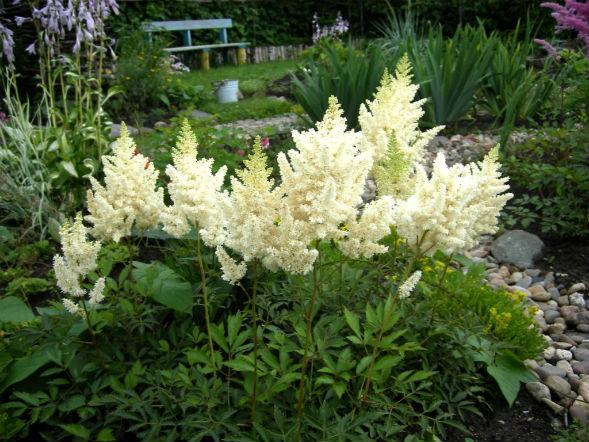 Многолетнее растение Астильба японская