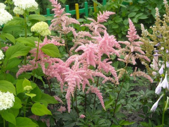 Многолетнее растение Астильба Тунберга