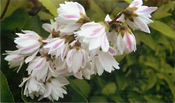 Многолетнее растение Дейция