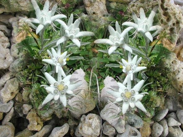 Многолетнее растение эдельвейс