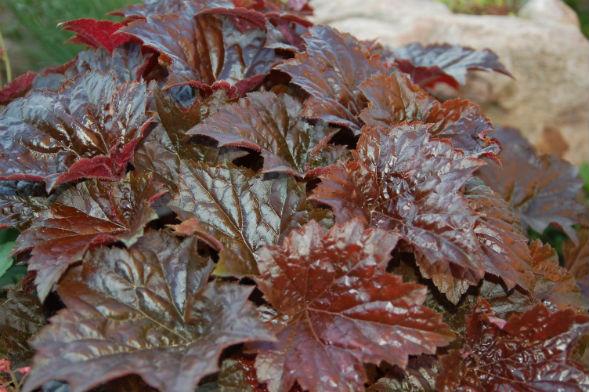 Многолетнее растение Гейхера кроваво-красная