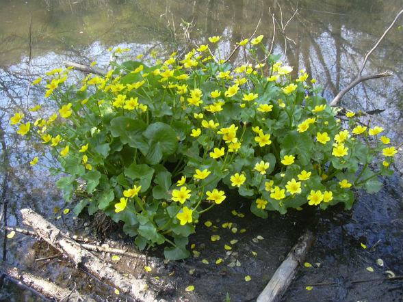 Многолетнее растение калужница болотная
