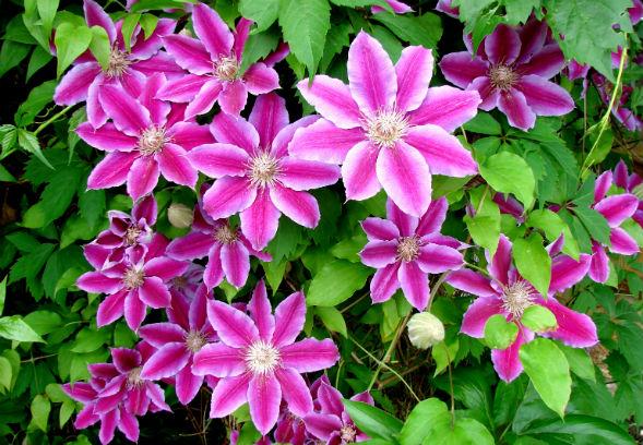 Многолетнее растение клематис