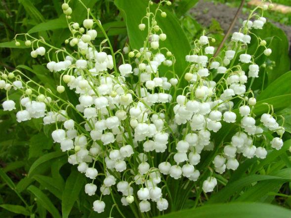 Многолетнее растение ландыш майский