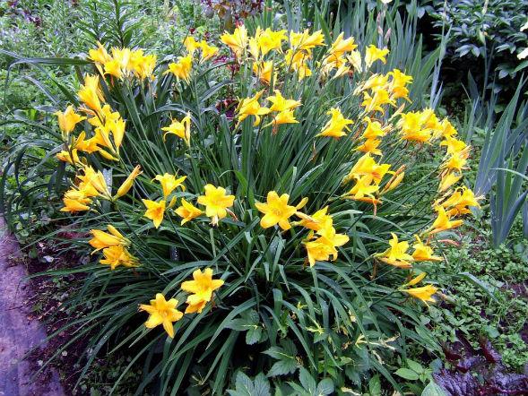 Многолетнее растение лилейник Миддендорфа