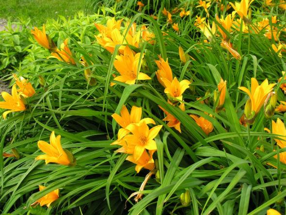 Многолоетнее растение лилейник желтый
