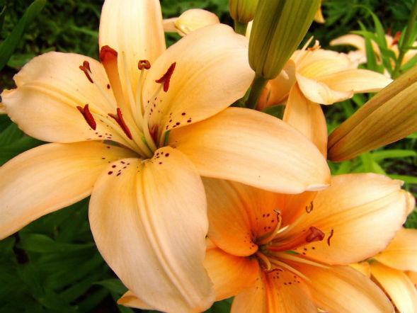 Многолетнее растение Лилия