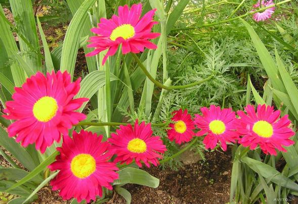 Многолетнее растение Пиретрум Розовый