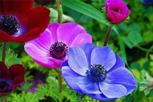 Декоративно-растущие растения семейства лютиковые