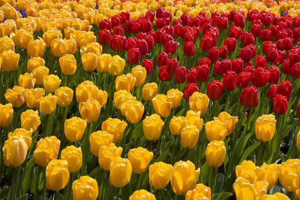 Многолетнее растение тюльпан