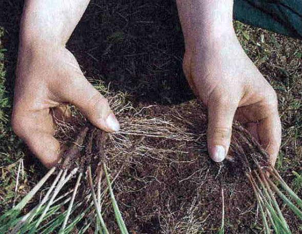 Вегетативное размножение многолетников