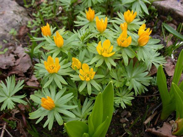 Многолетнее растение весенник эстрантис
