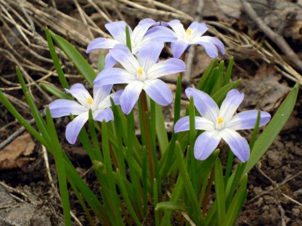 Многолетнее растение Хионодокса