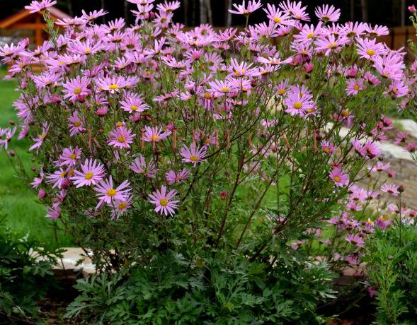 Многолетнее растение хризантема