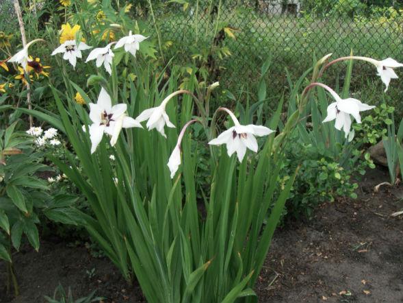 Декоративно-растущее многолетнее растение ацидантера