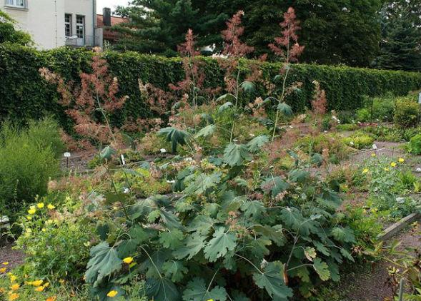 Декоративно-растущее многолетнее растение Боккония Маклея