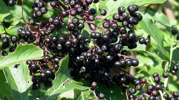 Декоративно-растущее многолетнее растение бузина черноая