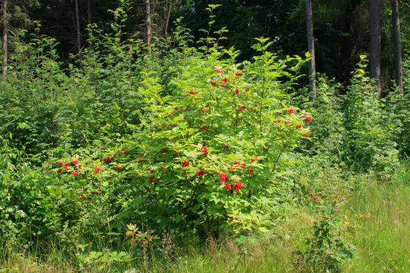 Декоративно-растущее многолетнее растение бузина красная