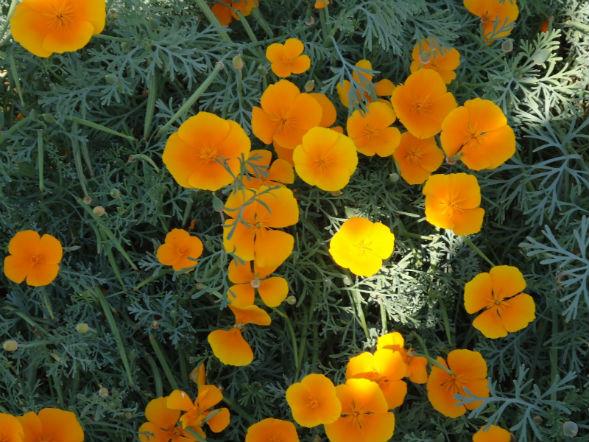 Декоративно-растущее многолетнее растение Эшшольция