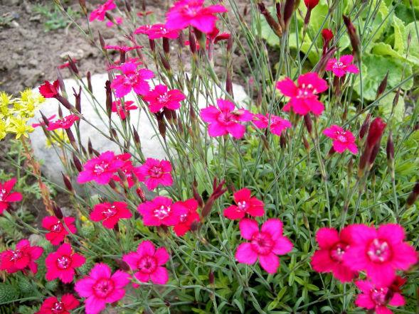 Декоративно-растущее многолетнее растение гвоздика травянка