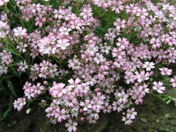 Декоративно-растущее многолетнее растение гипсофила ползучая