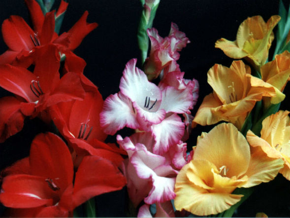 Декоративно-растущее многолетнее растение гладиолус