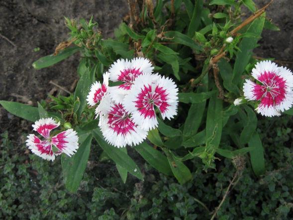 Декоративно-растущее многолетнее растение гвоздика перистая