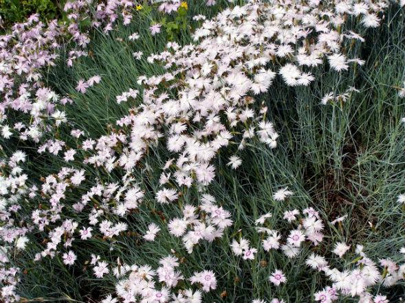 Декоративно-растущее многолетнее растение гвоздика песчаная