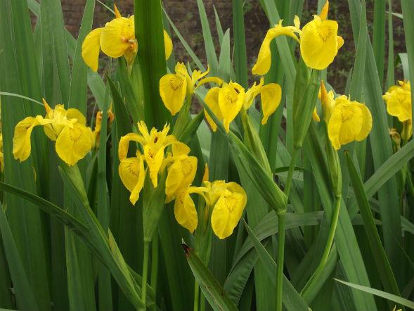 Декоративно-растущее многолетнее растение ирис желтый