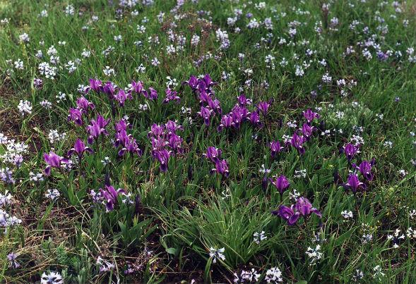 Декоративно-растущее многолетнее растение ирис низкий