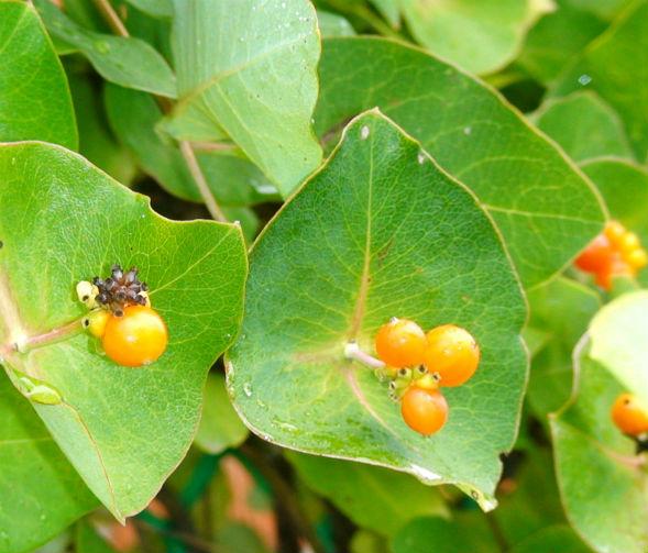 Декоративно-растущее многолетнее растение Жимолость, Каприфоль