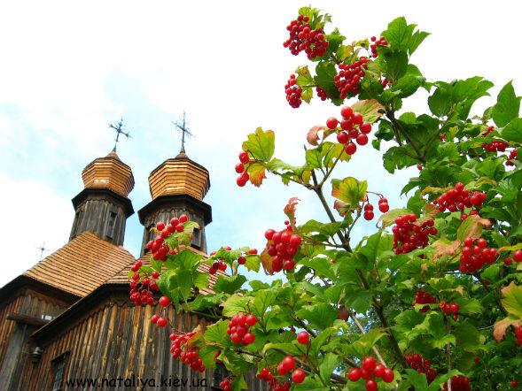 Декоративно-растущее многолетнее растение Калина
