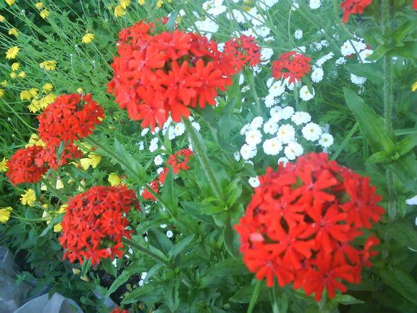 Декоративно-растущее многолетнее растение лихнис, зорька