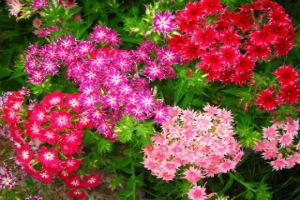 Декоративно-растущие многолетние растения семейство гвоздичные