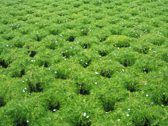 Декоративно-растущее многолетнее растение сайгина, мшанка