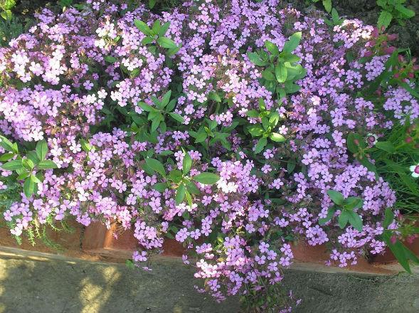 Декоративно-растущее многолетнее растение сапонария, мыльнянка